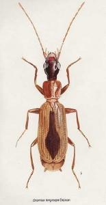 D.longiceps